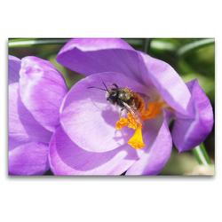 Premium Textil-Leinwand 120 x 80 cm Quer-Format Wildbiene nimmt ein Pollenbad in einer Krokusblüte | Wandbild, HD-Bild auf Keilrahmen, Fertigbild auf hochwertigem Vlies, Leinwanddruck von Gisela Kruse