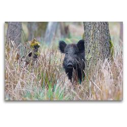 Premium Textil-Leinwand 120 x 80 cm Quer-Format Wildschwein in heimischer Natur | Wandbild, HD-Bild auf Keilrahmen, Fertigbild auf hochwertigem Vlies, Leinwanddruck von Michael Breuer
