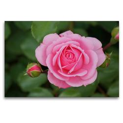 Premium Textil-Leinwand 120 x 80 cm Quer-Format Zartrosa Rosenblüte | Wandbild, HD-Bild auf Keilrahmen, Fertigbild auf hochwertigem Vlies, Leinwanddruck von kattobello