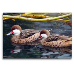 Premium Textil-Leinwand 120 x 80 cm Quer-Format Zwei Bahamaenten | Wandbild, HD-Bild auf Keilrahmen, Fertigbild auf hochwertigem Vlies, Leinwanddruck von Gisela Kruse