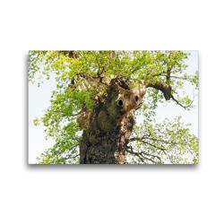 Premium Textil-Leinwand 45 x 30 cm Quer-Format Alter Baum mit Charakter | Wandbild, HD-Bild auf Keilrahmen, Fertigbild auf hochwertigem Vlies, Leinwanddruck von Gisela Kruse