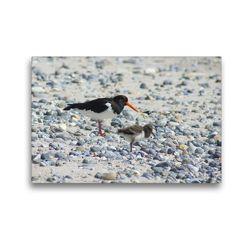 Premium Textil-Leinwand 45 x 30 cm Quer-Format Austernfische mit Küken | Wandbild, HD-Bild auf Keilrahmen, Fertigbild auf hochwertigem Vlies, Leinwanddruck von Kattobello
