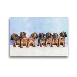 Premium Textil-Leinwand 45 x 30 cm Quer-Format Berger de Brie – Welpen   Wandbild, HD-Bild auf Keilrahmen, Fertigbild auf hochwertigem Vlies, Leinwanddruck von Sonja Tessen