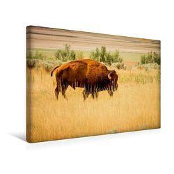 Premium Textil-Leinwand 45 x 30 cm Quer-Format Bison, Antelope Island, Utah | Wandbild, HD-Bild auf Keilrahmen, Fertigbild auf hochwertigem Vlies, Leinwanddruck von Martin Knaack von Knaack,  Martin