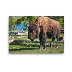 Premium Textil-Leinwand 45 x 30 cm Quer-Format Bison im Yellowstone Nat'l Park | Wandbild, HD-Bild auf Keilrahmen, Fertigbild auf hochwertigem Vlies, Leinwanddruck von Dieter-M. Wilczek