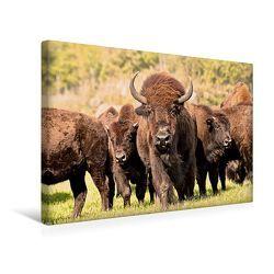 Premium Textil-Leinwand 45 x 30 cm Quer-Format Bisons in Manitoba | Wandbild, HD-Bild auf Keilrahmen, Fertigbild auf hochwertigem Vlies, Leinwanddruck von Marianne Drews von Drews,  Marianne