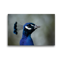 Premium Textil-Leinwand 45 x 30 cm Quer-Format Blauer Pfau Portrait   Wandbild, HD-Bild auf Keilrahmen, Fertigbild auf hochwertigem Vlies, Leinwanddruck von Kattobello