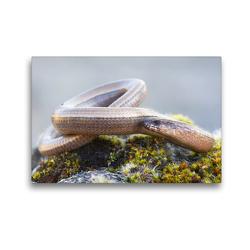 Premium Textil-Leinwand 45 x 30 cm Quer-Format Blindschleiche | Wandbild, HD-Bild auf Keilrahmen, Fertigbild auf hochwertigem Vlies, Leinwanddruck von GUGIGEI