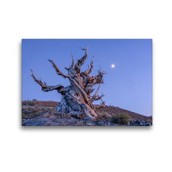 Premium Textil-Leinwand 45 x 30 cm Quer-Format Borstenkiefer, Eastern Sierra, Kalifornien, USA | Wandbild, HD-Bild auf Keilrahmen, Fertigbild auf hochwertigem Vlies, Leinwanddruck von Christian Heeb