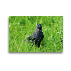 Premium Textil-Leinwand 45 x 30 cm Quer-Format Dohle (Corvus monedula) | Wandbild, HD-Bild auf Keilrahmen, Fertigbild auf hochwertigem Vlies, Leinwanddruck von kattobello