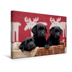 Premium Textil-Leinwand 45 x 30 cm Quer-Format Drei schwarze Labrador Welpen | Wandbild, HD-Bild auf Keilrahmen, Fertigbild auf hochwertigem Vlies, Leinwanddruck von Peter Faber von Faber,  Peter