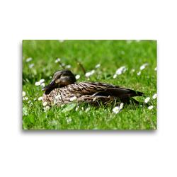 Premium Textil-Leinwand 45 x 30 cm Quer-Format Ein Mittagsschläfchen | Wandbild, HD-Bild auf Keilrahmen, Fertigbild auf hochwertigem Vlies, Leinwanddruck von Marlise Gaudig
