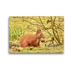 Premium Textil-Leinwand 45 x 30 cm Quer-Format Eichhörnchen mit Walnuss   Wandbild, HD-Bild auf Keilrahmen, Fertigbild auf hochwertigem Vlies, Leinwanddruck von René Schaack