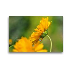 Premium Textil-Leinwand 45 x 30 cm Quer-Format Gelbe Blüte mit Regentropfen | Wandbild, HD-Bild auf Keilrahmen, Fertigbild auf hochwertigem Vlies, Leinwanddruck von Susanne Herppich