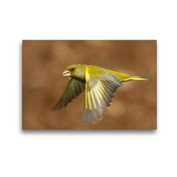 Premium Textil-Leinwand 45 x 30 cm Quer-Format Grünfink   Wandbild, HD-Bild auf Keilrahmen, Fertigbild auf hochwertigem Vlies, Leinwanddruck von Em-Jott Fotografie