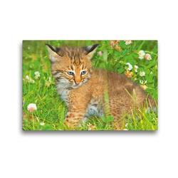 Premium Textil-Leinwand 45 x 30 cm Quer-Format Hallo Süßer – Niedliches Luchsbaby sitzt im Gras | Wandbild, HD-Bild auf Keilrahmen, Fertigbild auf hochwertigem Vlies, Leinwanddruck von CALVENDO