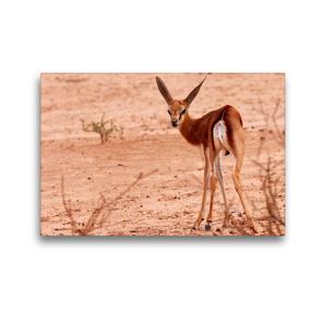 Premium Textil-Leinwand 45 x 30 cm Quer-Format Junges Impala in der Etosha Pfanne, Afrika   Wandbild, HD-Bild auf Keilrahmen, Fertigbild auf hochwertigem Vlies, Leinwanddruck von Birgit Scharnhorst