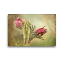 Premium Textil-Leinwand 45 x 30 cm Quer-Format Küchenschelle   Wandbild, HD-Bild auf Keilrahmen, Fertigbild auf hochwertigem Vlies, Leinwanddruck von Angelika Beuck