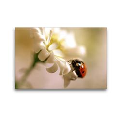 Premium Textil-Leinwand 45 x 30 cm Quer-Format Marienkäfer an weißer Blüte | Wandbild, HD-Bild auf Keilrahmen, Fertigbild auf hochwertigem Vlies, Leinwanddruck von Ulrike Adam