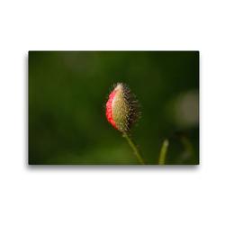 Premium Textil-Leinwand 45 x 30 cm Quer-Format Mohnblumenknospe | Wandbild, HD-Bild auf Keilrahmen, Fertigbild auf hochwertigem Vlies, Leinwanddruck von Anette/Thomas Jäger