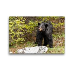 Premium Textil-Leinwand 45 x 30 cm Quer-Format Neugieriger Schwarzbär im Jasper Nationalpark | Wandbild, HD-Bild auf Keilrahmen, Fertigbild auf hochwertigem Vlies, Leinwanddruck von Adrian Geering