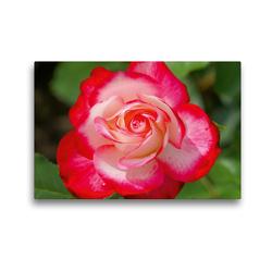 Premium Textil-Leinwand 45 x 30 cm Quer-Format Rot weiße Rosenblüte | Wandbild, HD-Bild auf Keilrahmen, Fertigbild auf hochwertigem Vlies, Leinwanddruck von kattobello
