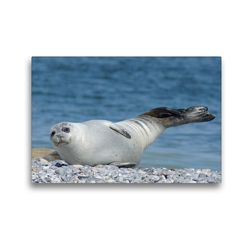 Premium Textil-Leinwand 45 x 30 cm Quer-Format Seehund Gruß | Wandbild, HD-Bild auf Keilrahmen, Fertigbild auf hochwertigem Vlies, Leinwanddruck von Kattobello