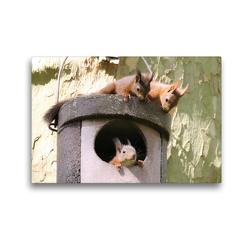 Premium Textil-Leinwand 45 x 30 cm Quer-Format Spielende junge Eichhörnchen   Wandbild, HD-Bild auf Keilrahmen, Fertigbild auf hochwertigem Vlies, Leinwanddruck von Wilfried Martin