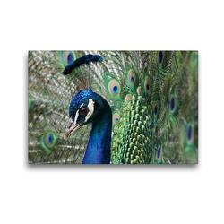Premium Textil-Leinwand 45 x 30 cm Quer-Format Stolzer Pfau im Federkleid | Wandbild, HD-Bild auf Keilrahmen, Fertigbild auf hochwertigem Vlies, Leinwanddruck von Schwan