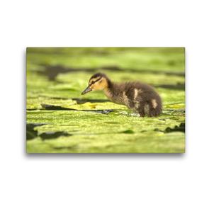 Premium Textil-Leinwand 45 x 30 cm Quer-Format Süße Ente | Wandbild, HD-Bild auf Keilrahmen, Fertigbild auf hochwertigem Vlies, Leinwanddruck von Kevin Andreas Lederle