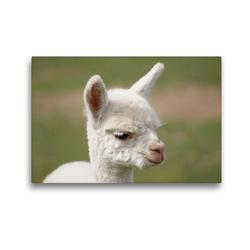 Premium Textil-Leinwand 45 x 30 cm Quer-Format Weißes Alpaka Fohlen auf gerahmter Leinwand   Wandbild, HD-Bild auf Keilrahmen, Fertigbild auf hochwertigem Vlies, Leinwanddruck von Bianca Mentil