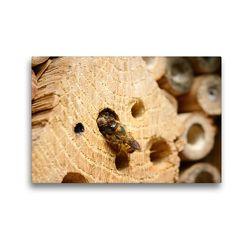 Premium Textil-Leinwand 45 x 30 cm Quer-Format Wildbienen in der Natur. Mauerbiene beim Verschließen des Nestes | Wandbild, HD-Bild auf Keilrahmen, Fertigbild auf hochwertigem Vlies, Leinwanddruck von Anja Frost
