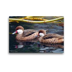 Premium Textil-Leinwand 45 x 30 cm Quer-Format Zwei Bahamaenten | Wandbild, HD-Bild auf Keilrahmen, Fertigbild auf hochwertigem Vlies, Leinwanddruck von Gisela Kruse