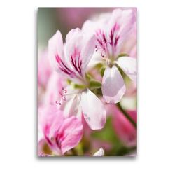 Premium Textil-Leinwand 50 x 75 cm Hoch-Format Geranienblüten | Wandbild, HD-Bild auf Keilrahmen, Fertigbild auf hochwertigem Vlies, Leinwanddruck von Gisela Kruse
