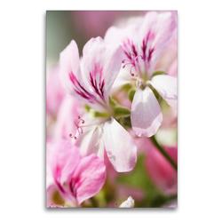 Premium Textil-Leinwand 60 x 90 cm Hoch-Format Geranienblüten | Wandbild, HD-Bild auf Keilrahmen, Fertigbild auf hochwertigem Vlies, Leinwanddruck von Gisela Kruse
