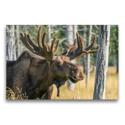 Premium Textil-Leinwand 75 x 50 cm Quer-Format Alaska-Elch mit staatlichem Geweih | Wandbild, HD-Bild auf Keilrahmen, Fertigbild auf hochwertigem Vlies, Leinwanddruck von Photo4emotion.com