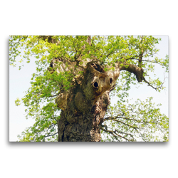Premium Textil-Leinwand 75 x 50 cm Quer-Format Alter Baum mit Charakter | Wandbild, HD-Bild auf Keilrahmen, Fertigbild auf hochwertigem Vlies, Leinwanddruck von Gisela Kruse