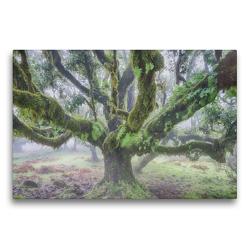 Premium Textil-Leinwand 75 x 50 cm Quer-Format Alter Lorbeerbaum im Nebel | Wandbild, HD-Bild auf Keilrahmen, Fertigbild auf hochwertigem Vlies, Leinwanddruck von Juergen Schonnop