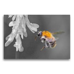 Premium Textil-Leinwand 75 x 50 cm Quer-Format Baumhummel   Wandbild, HD-Bild auf Keilrahmen, Fertigbild auf hochwertigem Vlies, Leinwanddruck von Dany´s Blickwinkel