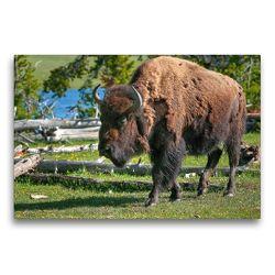 Premium Textil-Leinwand 75 x 50 cm Quer-Format Bison im Yellowstone Nat'l Park | Wandbild, HD-Bild auf Keilrahmen, Fertigbild auf hochwertigem Vlies, Leinwanddruck von Dieter-M. Wilczek