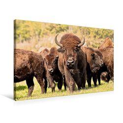 Premium Textil-Leinwand 75 x 50 cm Quer-Format Bisons in Manitoba | Wandbild, HD-Bild auf Keilrahmen, Fertigbild auf hochwertigem Vlies, Leinwanddruck von Marianne Drews von Drews,  Marianne