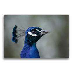 Premium Textil-Leinwand 75 x 50 cm Quer-Format Blauer Pfau Portrait   Wandbild, HD-Bild auf Keilrahmen, Fertigbild auf hochwertigem Vlies, Leinwanddruck von Kattobello