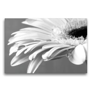 Premium Textil-Leinwand 75 x 50 cm Quer-Format Blüte einer weißen Gerbera | Wandbild, HD-Bild auf Keilrahmen, Fertigbild auf hochwertigem Vlies, Leinwanddruck von Susanne Herppich
