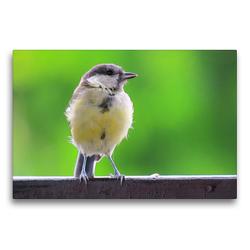 Premium Textil-Leinwand 75 x 50 cm Quer-Format Die Kohlmeise auf Besuch | Wandbild, HD-Bild auf Keilrahmen, Fertigbild auf hochwertigem Vlies, Leinwanddruck von Claudia Schimmack