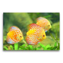 Premium Textil-Leinwand 75 x 50 cm Quer-Format Diskusfische. Die bezaubernden Lieblinge vieler Aquarianer | Wandbild, HD-Bild auf Keilrahmen, Fertigbild auf hochwertigem Vlies, Leinwanddruck von Rose Hurley