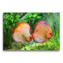 Premium Textil-Leinwand 75 x 50 cm Quer-Format Ein schönes rotes Diskusfisch-Paar | Wandbild, HD-Bild auf Keilrahmen, Fertigbild auf hochwertigem Vlies, Leinwanddruck von Rose Hurley