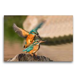 Premium Textil-Leinwand 75 x 50 cm Quer-Format Eisvögel bei der Paarung | Wandbild, HD-Bild auf Keilrahmen, Fertigbild auf hochwertigem Vlies, Leinwanddruck von Wilfried Martin