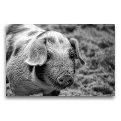 Premium Textil-Leinwand 75 x 50 cm Quer-Format Ferkel Portrait | Wandbild, HD-Bild auf Keilrahmen, Fertigbild auf hochwertigem Vlies, Leinwanddruck von kattobello
