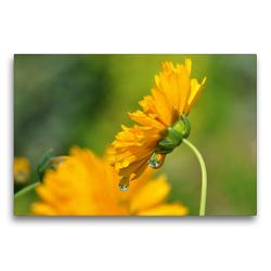 Premium Textil-Leinwand 75 x 50 cm Quer-Format Gelbe Blüte mit Regentropfen | Wandbild, HD-Bild auf Keilrahmen, Fertigbild auf hochwertigem Vlies, Leinwanddruck von Susanne Herppich