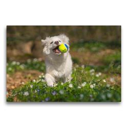 Premium Textil-Leinwand 75 x 50 cm Quer-Format Junger Islandhund beim Toben | Wandbild, HD-Bild auf Keilrahmen, Fertigbild auf hochwertigem Vlies, Leinwanddruck von Monika Scheurer